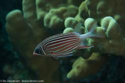 BD-121127-Aqaba-7245-Sargocentron-diadema-(Lacepède.-1802)-[Crown-squirrelfish].jpg